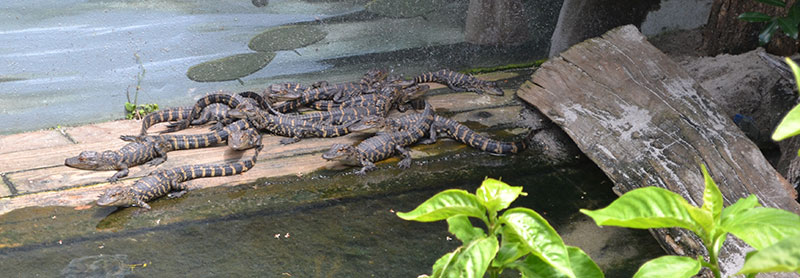 alligator farm in saint augustine
