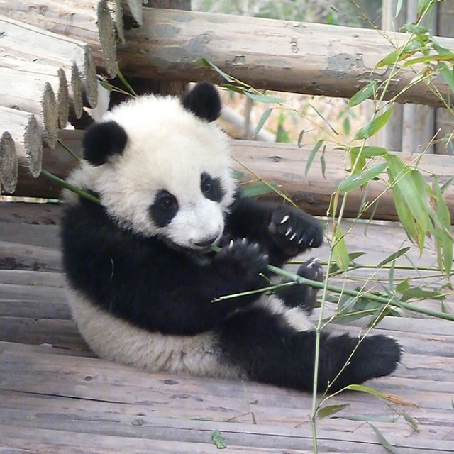 pandabeer chengdu