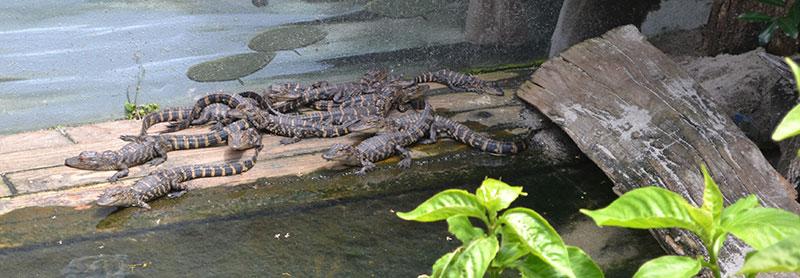 alligator farm in saint augustine