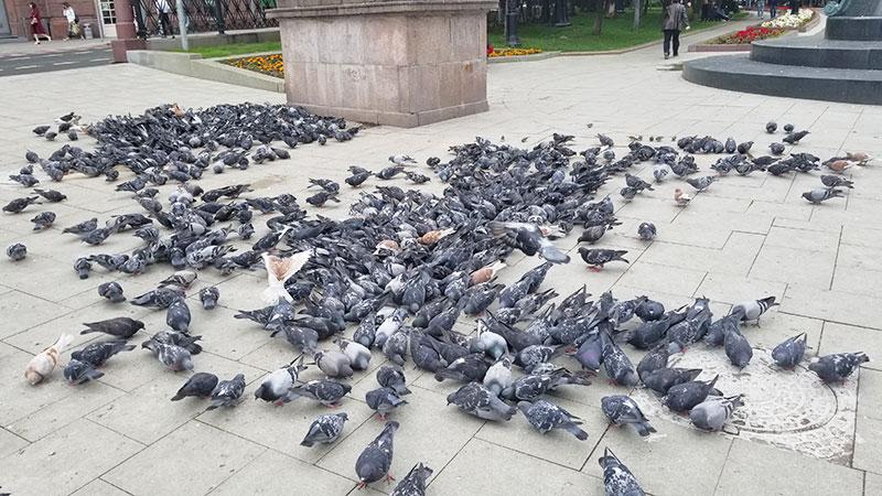 duiven in moskou